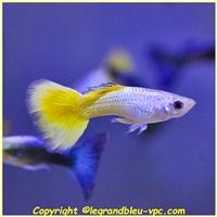 Poecillia reticulata - legrandbleu-vpc.com