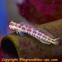 Blenniella chrysospilos - legrandbleu-vpc.com