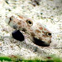 Signigobius biocellatus - legrandbleu-vpc.com