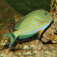 acanthurus-lineatus