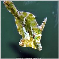 acreichthys-tomentosus