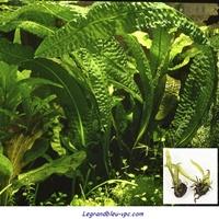 aponogeton boivinianus tropica - legrandbleu-vpc.com