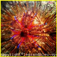 astropyga-radiata