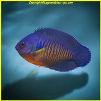 centropyge-bispinosus