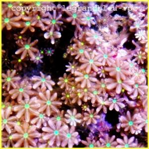 clavularia sp - legrandbleu-vpc.com