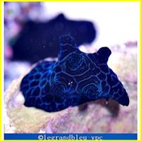 coriocella-nigra - legrandbleu-vpc.com