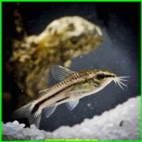 corydoras pygmaeus - legrandbleu-vpc.com