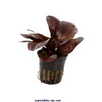 echinodorus-renii-tropica