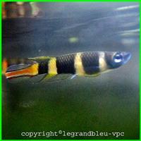 epiplaty-annulatus - legrandbleu-vpc.com