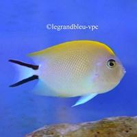 Genicanthus melanospilus - legrandbleu-vpc.com