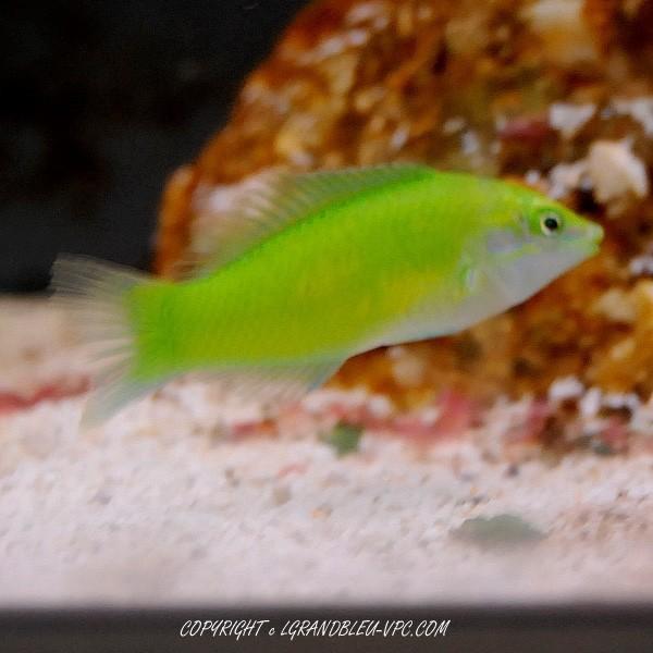 halichoeres-chloropterus