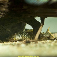 L 018 Baryancistrus golden nugget - legrandbleu-vpc.com