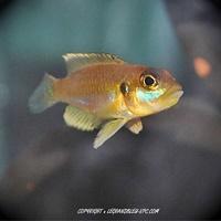 lamprologus-ocellatus-gold