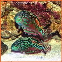 macropharyngodon bipartitus - legrandbleu-vpc.com
