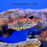 macropharyngodon-meleagris
