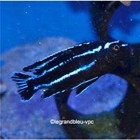 melanochromis johani eastern - legrandbleu-vpc.com