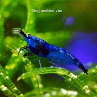 neocaridina-denticulata-blue-velvet