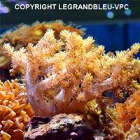 neospongodes sp jaune - legrandbleu-vpc.com