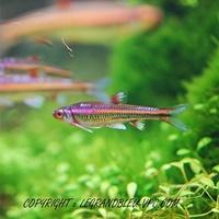 notropsis chrsosomus - legrandbleu-vpc.com