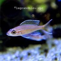 paracyprichromis-blue-neon
