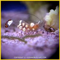 periclimenes brevicarpalis - legrandbleu-vpc.com