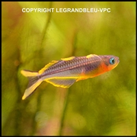pseudomugil-furcatus