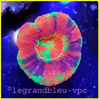 scolymia - legrandbleu-vpc.com
