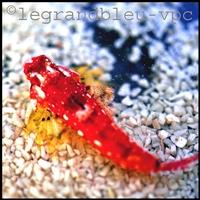 synchiropus-tudornjonesi-ruby