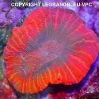 Trachyphyllia - legrandbleu-vpc.com