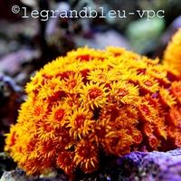 tubastrea-aurea - legrandbleu-vpc.com