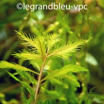 PROSERPINACA palustris var cuba