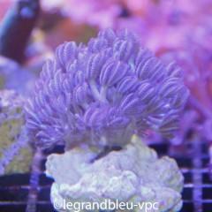 XENIA pumping tentacules  bleus