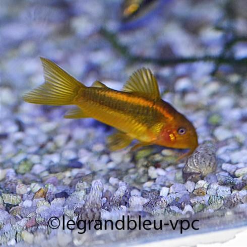 CORYDORAS sp.neon gold stripe