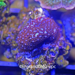 MONTIPORA danae superman