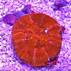 SCOLYMIA australis rouge