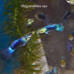 GUPPY male bleu néon selectionné