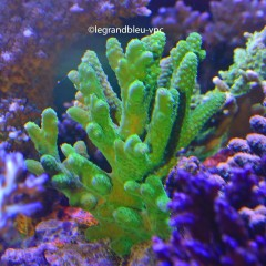ACROPORA  sp toxic green ultra