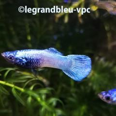 GUPPY male Moscou blue