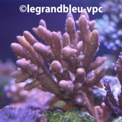 ACROPORA sp Premium Indonesie n°2