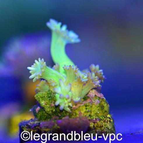 ALVEOPORA sp vert pointes bleues s