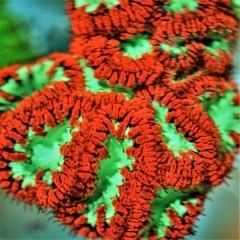 BLASTOMUSSA  WELSSI  vert et rouge