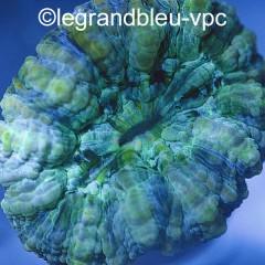 ACANTHOPHYLLIA deshayesiana vert