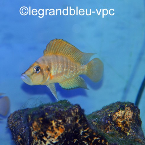 ALTOLAMPROLOGUS compressiceps GOMBE
