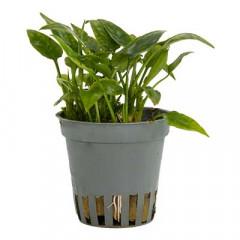 "CRYPTOCORINE pontederifolia ""edition speciale"""
