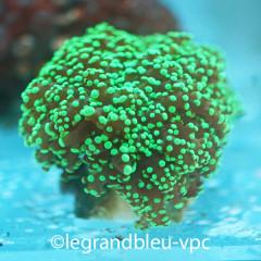 EUPHYLLIA divisa green tip frag M/L