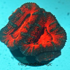 ACANTHASTREA lordhowensis tricolore ultra