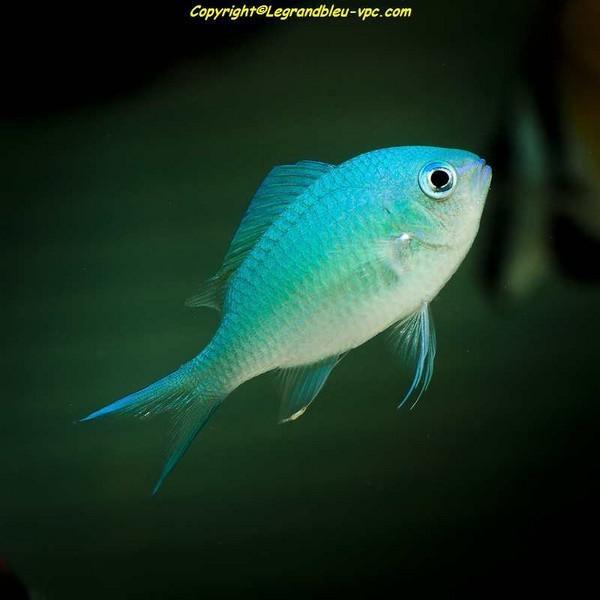 Chromis viridis demoiselle verte aquarium recifal vpc for Poisson vpc