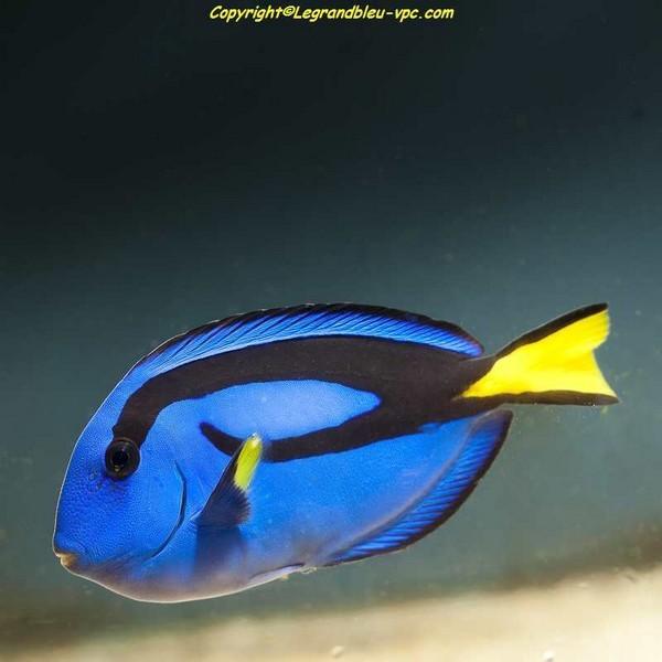 Paracanthurus hepatus poissons chirurgien aquarium recifal vpc for Aquarium vpc