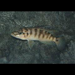 ALTOLAMPROLOGUS fasciatuscape Mpimbwe