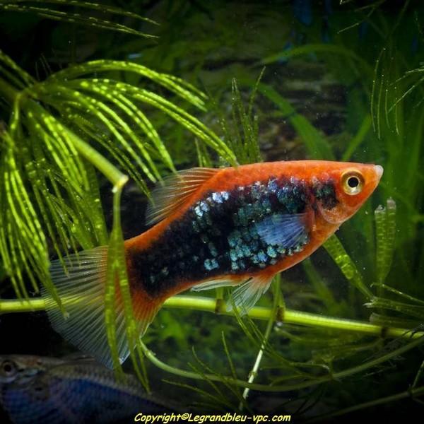Platy tuxedo rouge le grand bleu for Bac communautaire poisson rouge